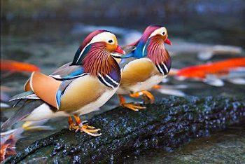 cropped Bebek Mandarin  Jual Ayam Hias HP : 08564 77 23 888 | BERKUALITAS DAN TERPERCAYA  *Jual Ayam Hias