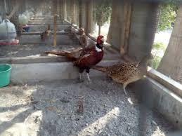 Karena pheasant mempunyai sifat bergerak lincah maka kandang sebaiknya berukuran luas agar pheasant bisa merasa nyaman di dalam kandang