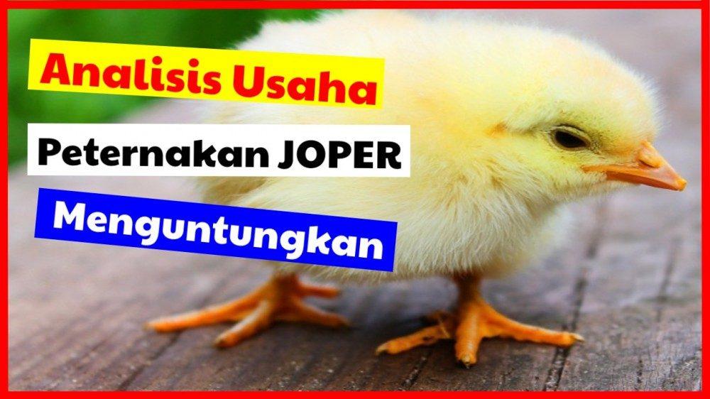 cropped analisis usaha ternak joper menguntungkan analisa ternak joper Jual Ayam Hias HP : 08564 77 23 888 | BERKUALITAS DAN TERPERCAYA analisa ternak joper Analisis Usaha Peternakan Ayam Kampung Super  yang Menguntungkan