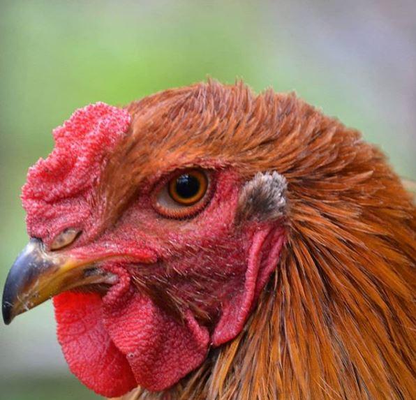Ayam Brahma Dewasa