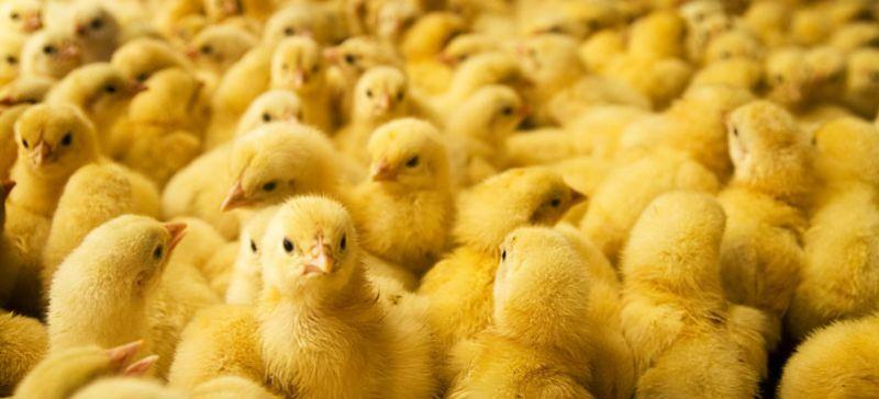 DOC atau Bibit Ayam Broiler Image