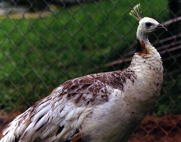 Merak Blackshoulder  Jual Ayam Hias HP : 08564 77 23 888 | BERKUALITAS DAN TERPERCAYA  Daftar Harga - New