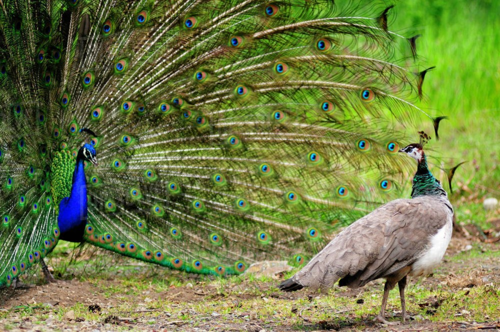 Female peacock can't spread their tail feathers, because they don't have long feathers like a male peacock.