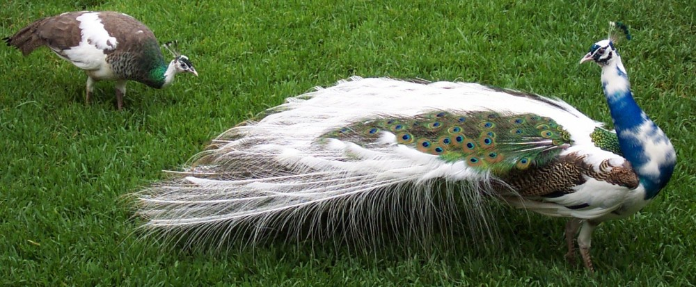 Pied Peacock