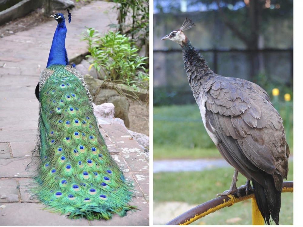 The different tail feathers of male and female peacocks