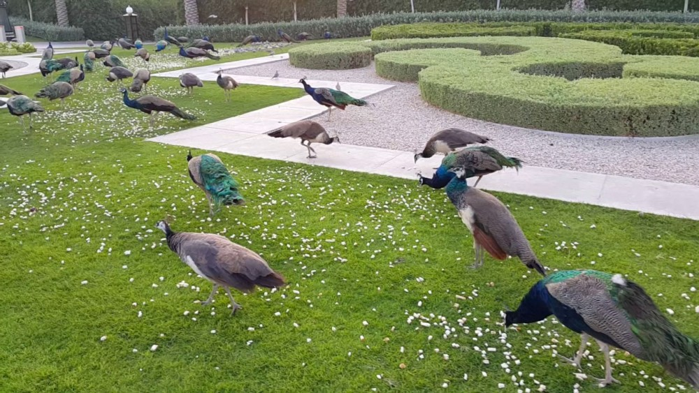 Peacocks are animals that often search for food on the ground and can be said to be omnivorous, they are very happy to find insects.
