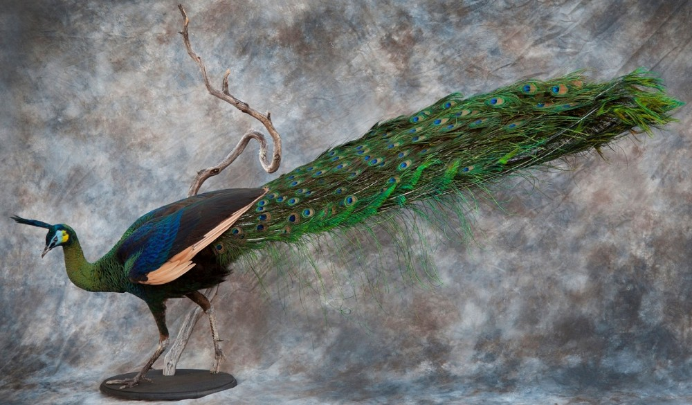 Male Green Peafowl