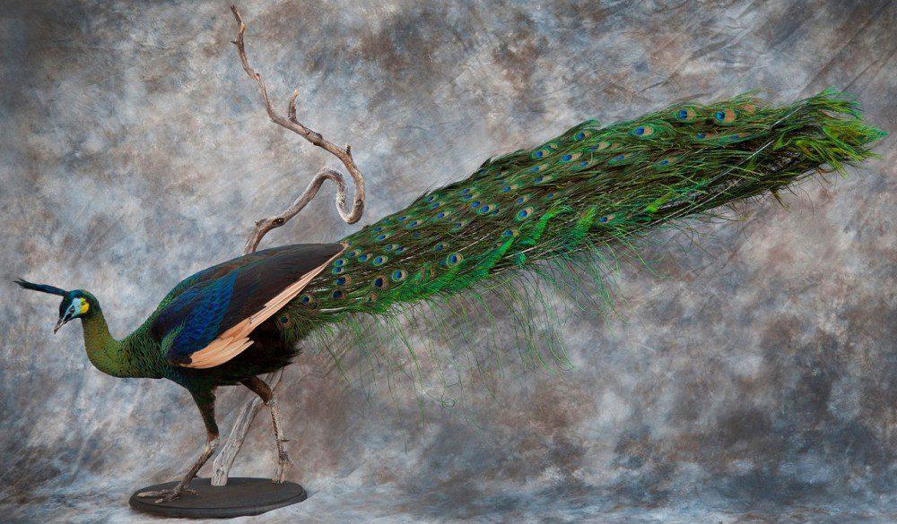 Male Green Peafowl