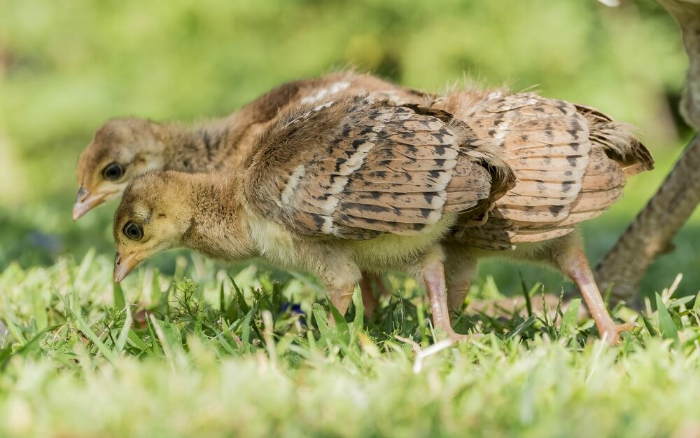 Peachick will be with their mom before growing up, however, you should place it in a safe place from predators.
