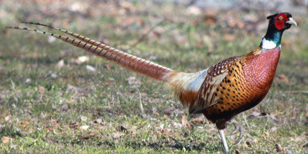 Ringneck Pheasant si ayam pegar kalung