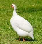 White guinea