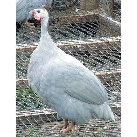 Sky blue guinea fowl