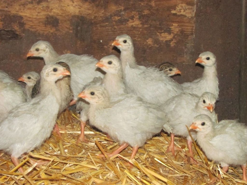 Lavender guinea keets