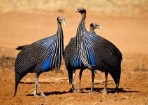Vulturine Guinea Fowl (backyardchickens.com)