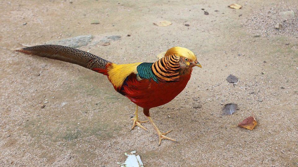 cropped Ayam Pheasant jual ayam pheasant Jual Ayam Hias HP : 08564 77 23 888 | BERKUALITAS DAN TERPERCAYA jual ayam pheasant Jual Berbagai Macam Ayam Pegar atau Pheasant