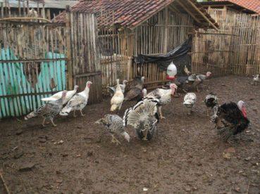 Contoh kandang ayam kalkun