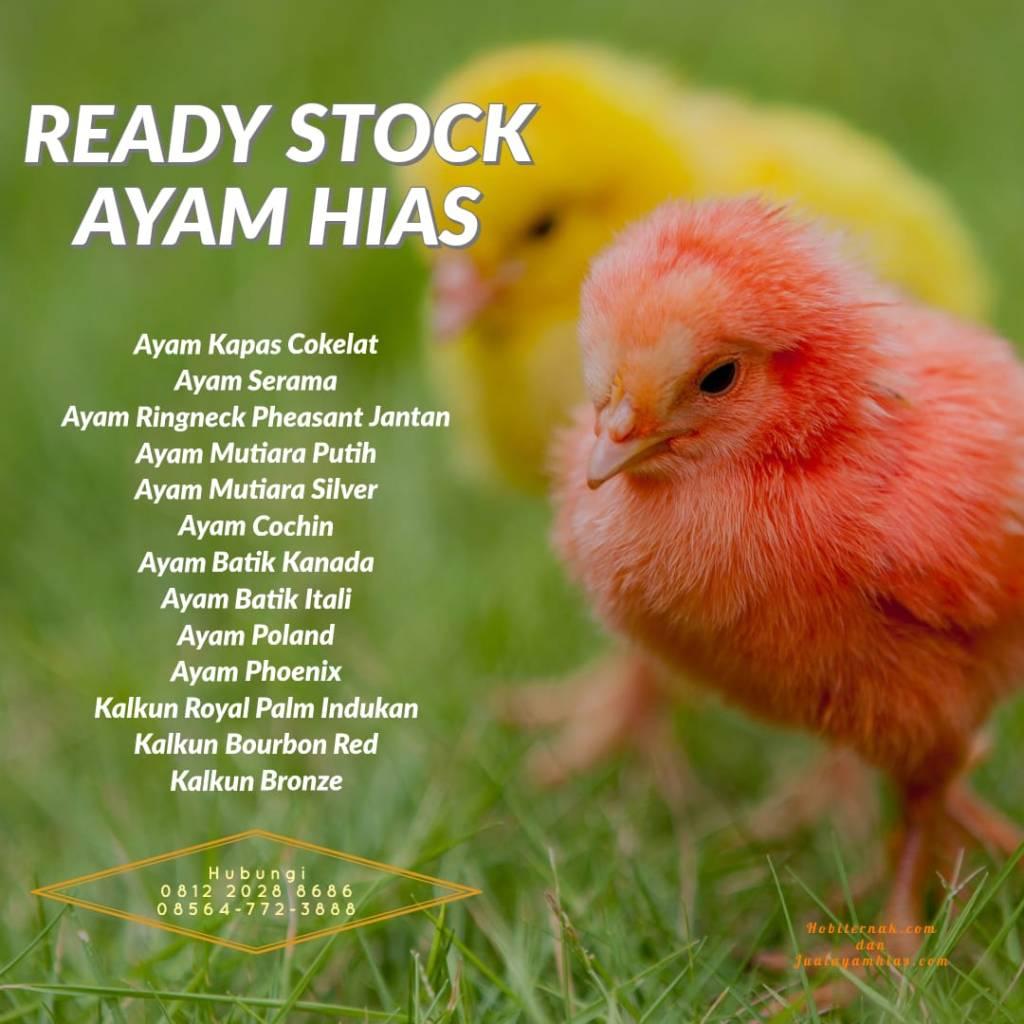 Ready Stock Ayam Hias (23 Maret 2019)