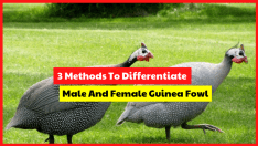 Now you don't need to be confused anymore to differentiate male and female guinea fowl, use the method below.