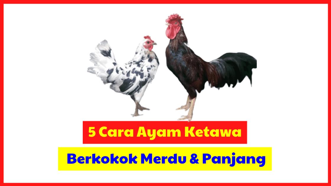 5 Cara Ampuh agar Ayam Ketawa Anda Bisa Berkokok Merdu dan Panjang