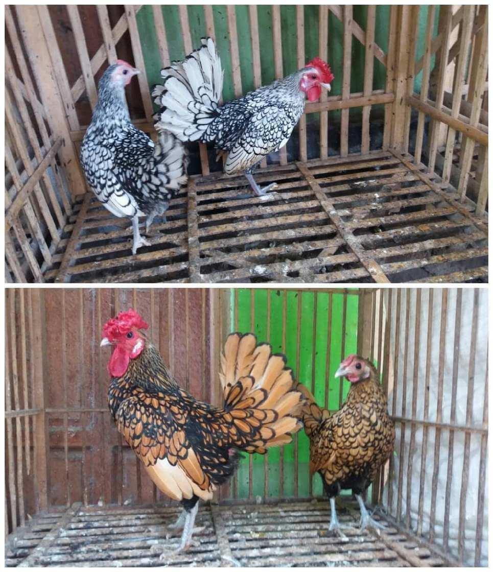 Ayam batik ada 2 jenis yaitu ayam batik itali dan ayam batik kanada