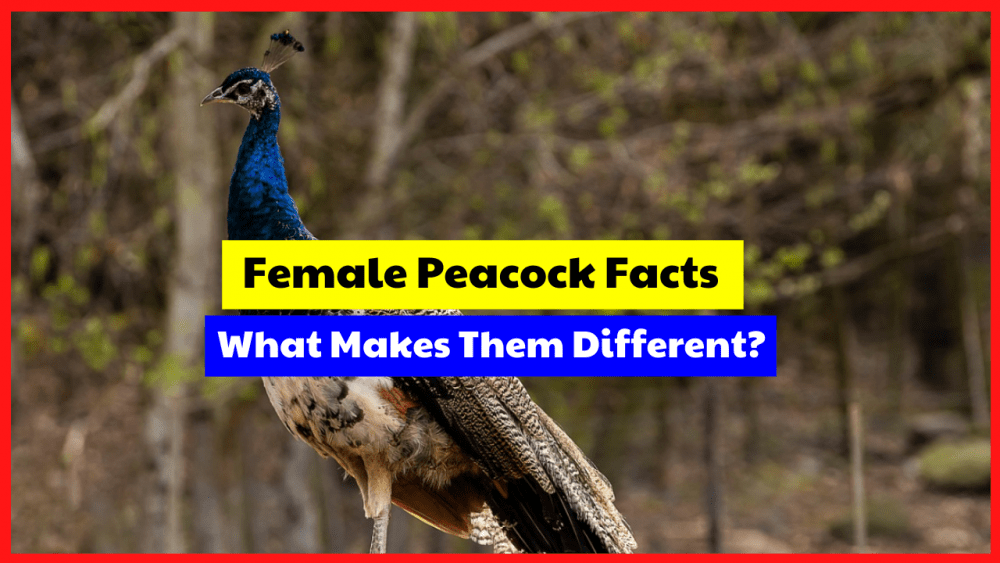 The female peacock has some unique facts that you might not know about.
