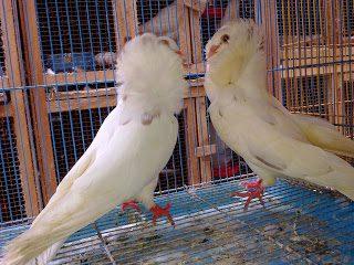 Burung Merpati Jacobin Puith