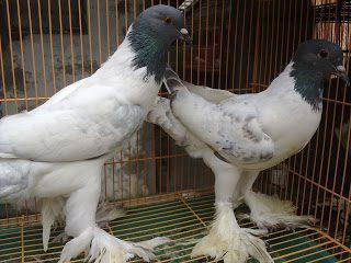 Gondok hanna pouter spanggle Merpati Gondok Super Jual Ayam Hias HP : 08564 77 23 888 | BERKUALITAS DAN TERPERCAYA Merpati Gondok Super Mari Mengenal Merpati Gondok Super