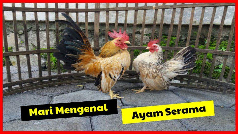 Jenis Ayam Serama