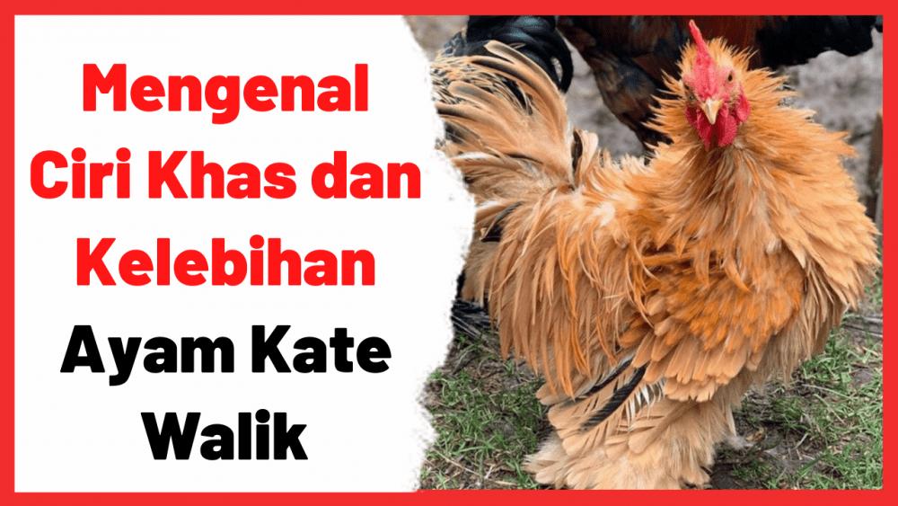 Mengenal Ciri Khas dan Kelebihan Ayam Kate Walik | Cover