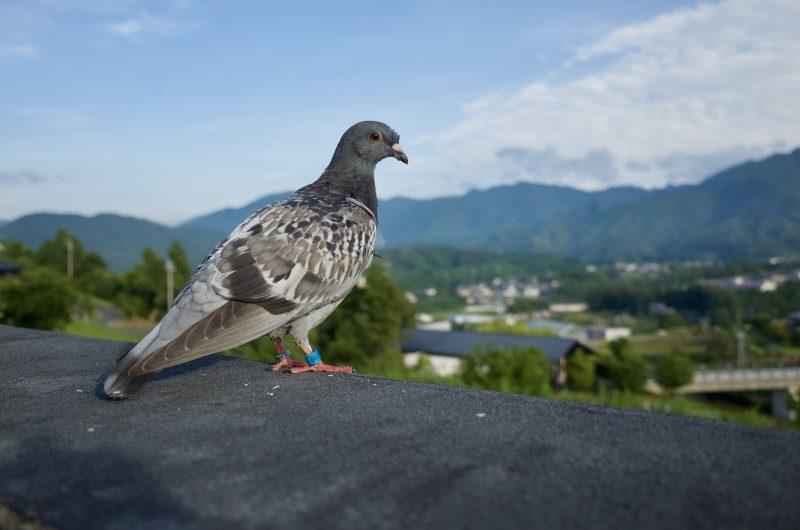 Kami dari jualayamhias.com menyediakan berbagai jenis burung merpati yang unik-unik dan keren-keren