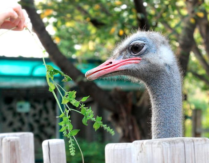 Di daerah asalnya burung unta memakan dedaunan yang ada di sekitar, kalau di Indonesia bisa di berikan dedak atau rumput dan juga bisa sayur-sayuran   Burung unta makan
