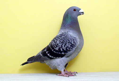 American Show Racer Pigeon persilangan dari merpati domestik di Amerika dengan racing pigeon terbaik