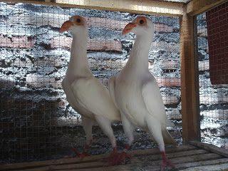 English Carrier Pigeon memiliki cirikhas bentuk tubuh yang ramping dan leher panjang