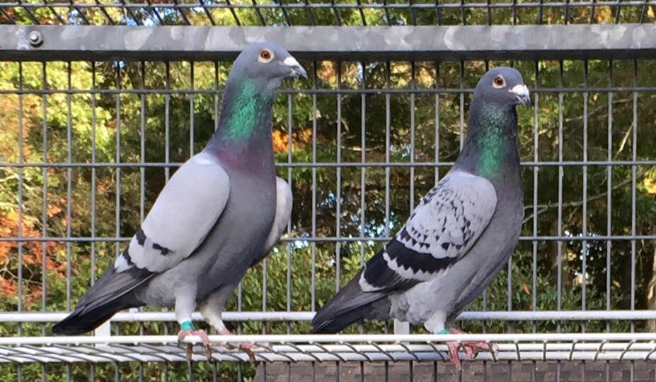 Racing Pigeon inilah yang saat ini disebut dengan merpati pos