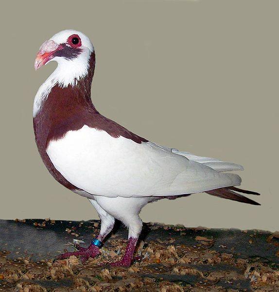 Scandaroon Pigeon sudah lama di kembangkan ratusan tahun yang lalu