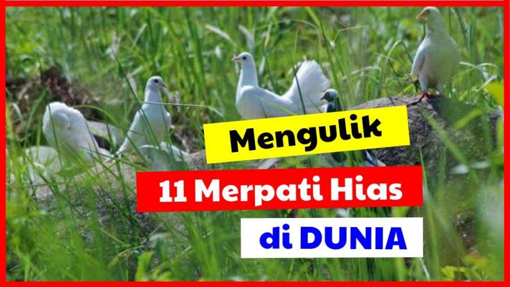 cropped 11 merpati hias merpati hias Jual Ayam Hias HP : 08564 77 23 888 | BERKUALITAS DAN TERPERCAYA merpati hias Mengulik 11 Merpati Hias di Dunia