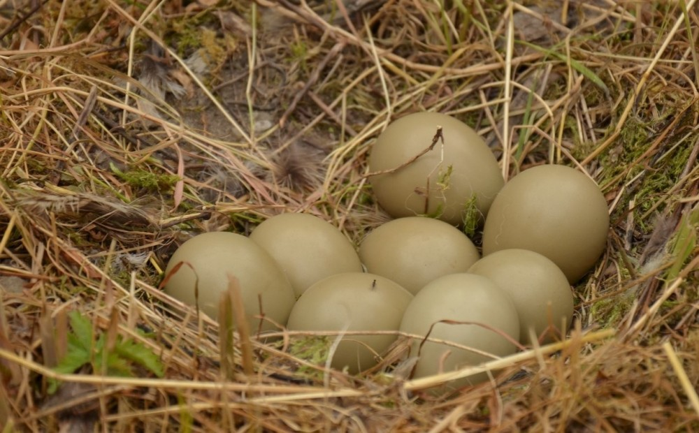 silver pheasant eggs 1 silver pheasant Jual Ayam Hias HP : 08564 77 23 888 | BERKUALITAS DAN TERPERCAYA silver pheasant Silver Pheasant Lovers? Find The Description, Origin, Behavior, Facts, And Other Information About This Species In This Site!