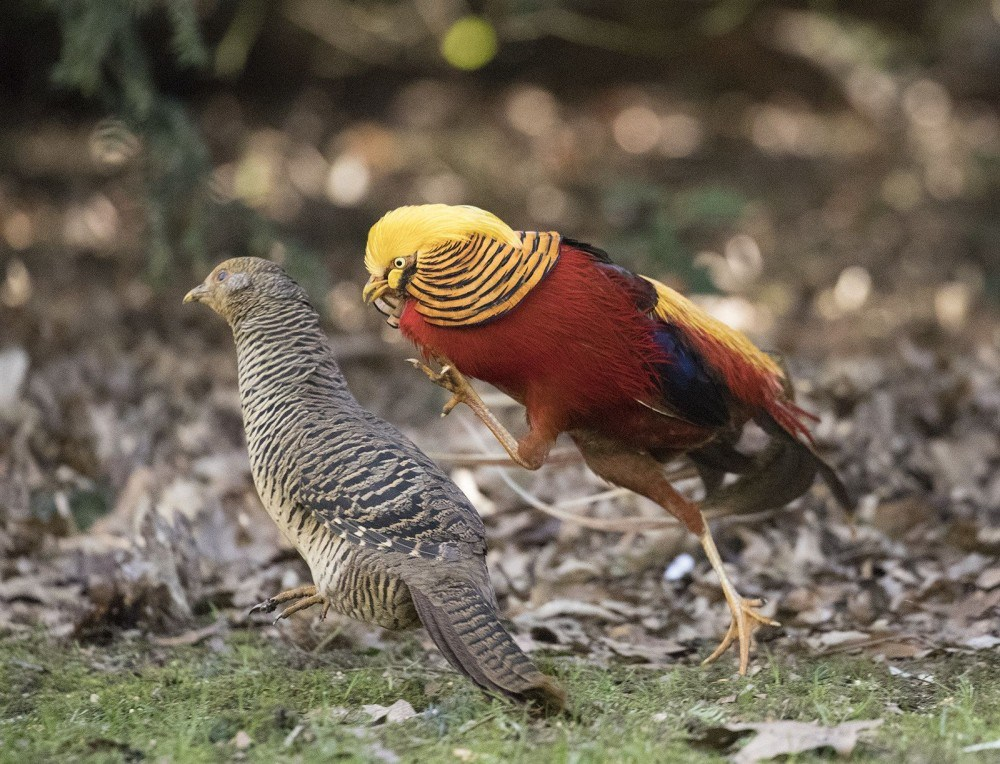 Golden pheasant are one of the types of pheasants that known by its colorful and luxury plumage. | Pair of Golden Pheasant.