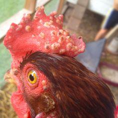 Penyakit Fox pada ayam