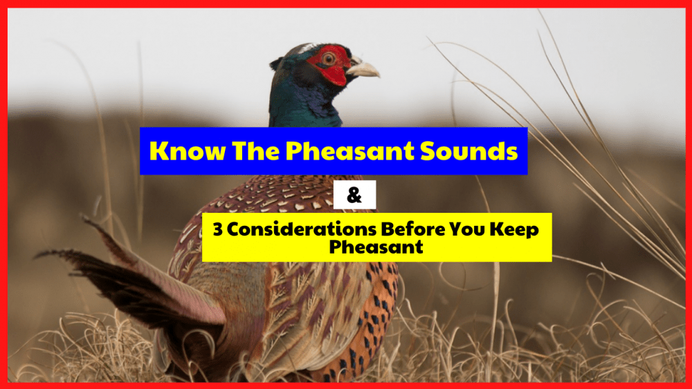 Before you maintain a pheasant, let's look at 3 things to consider.