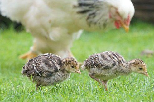 Fakta unik pada ayam kalkun