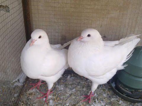 king pigeon dahulu di termasuk dalam kategori merpati konsumsi namun saat ini berubah menjadi merpati hias