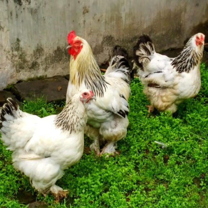 Peluang usaha ternak Ayam Brahma saat ini cukup bagus. Sudah banyak masyarakat yang mencoba mengembangbiakan ayam berpostur tubuh besar ini | Ayam Brahma
