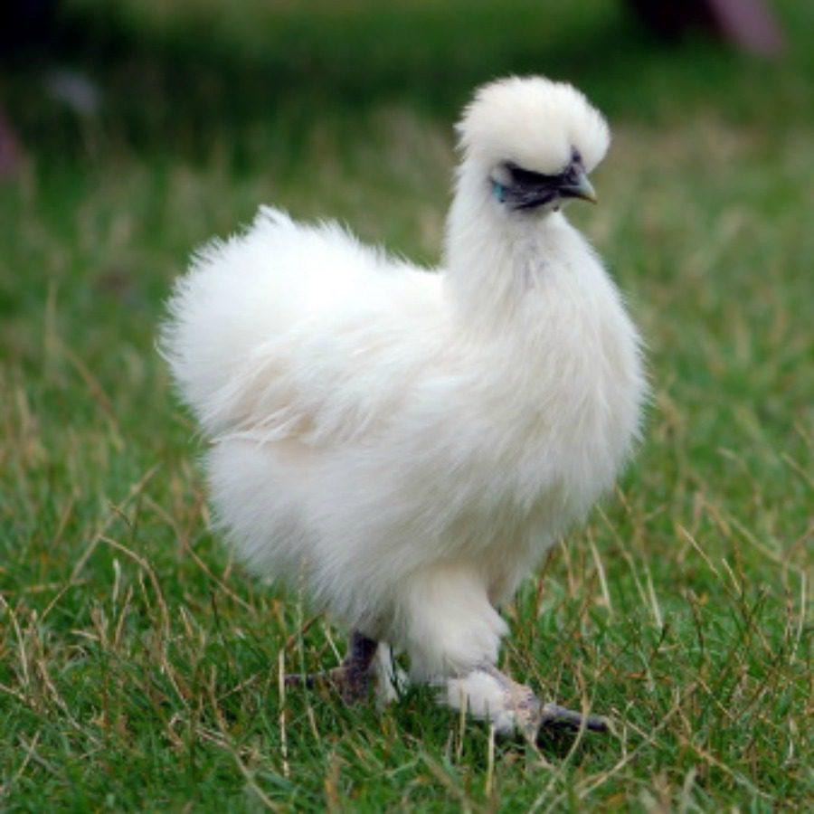 Karena memiliki bulu mirip seperti kapas, maka ayam ini di sebut dengan ayam kapas atau silkie