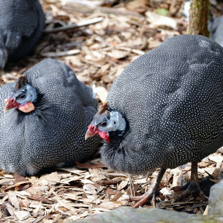 A pair of male and female guinea fowl, visible from the difference in the horn which in males is larger.