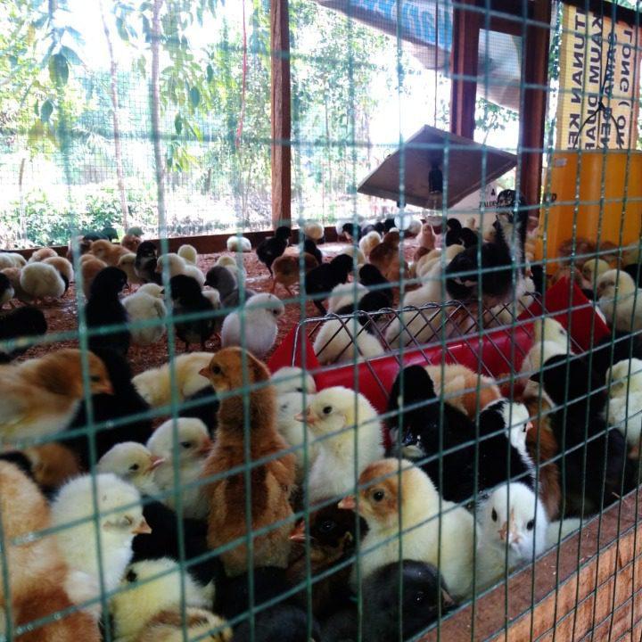DOC JOPER / Ayam Kampung Super