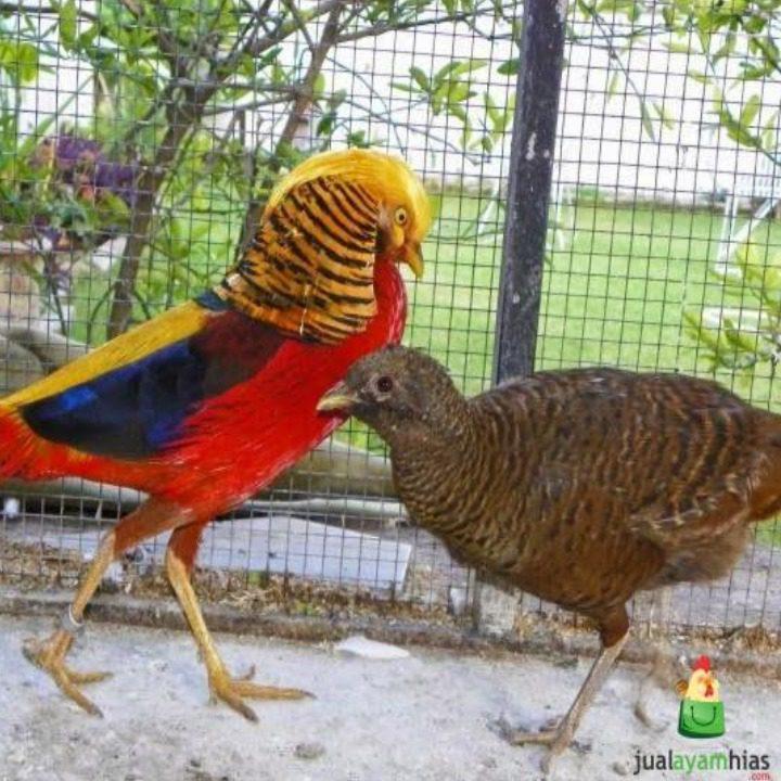 Sepasang Golden Pheasant usia dewasa   Jantan betina golden pheasant