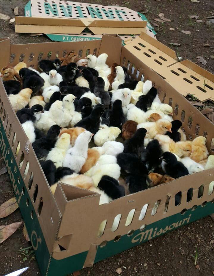Saat ini ternak ayam kampung super telah banyak dibudidayakan karena memiliki masa panen yang singkat yakni 60 hari panen | Ayam Kampung Super