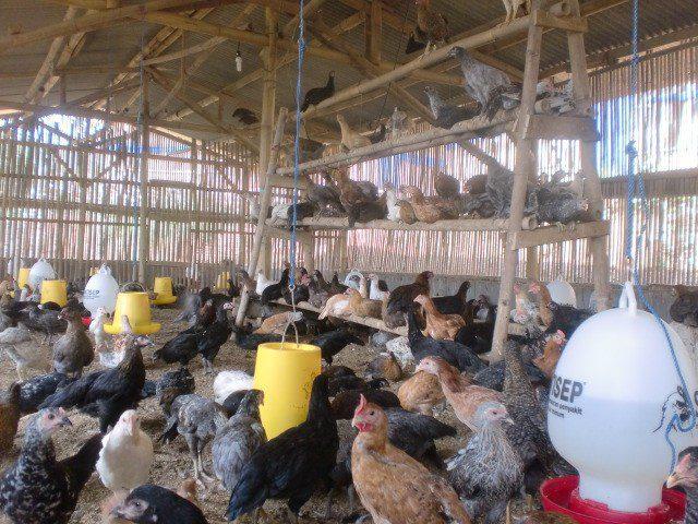 Pembuatan Kandang dengan diberikan tangkringan untuk ayam joper bertengger | tangkringan ayam