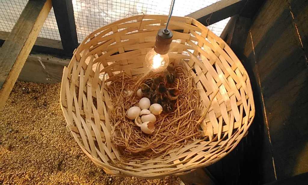 Salah satu telur ayam batik itali yang menetas dan telur tidak dipatuk oleh indukannya - telur menetas